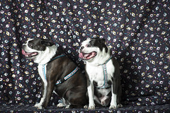 052116-03 (BigFont) Tags: art dogs portraits nikon louisiana lafayette alien pug bulldog bee bayou coop mm nikkor heavy f28 tongues d3 breathing 80200 b800