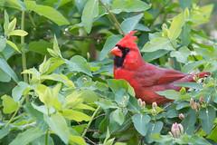 DSC_8813.jpg (Anne Beverley Photography) Tags: backyard cardinal sprinkler annebeverleyphotography