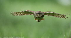 Little Owl in Flight (Alastair Marsh Photography) Tags: bird water rain birds animal animals fly flying spring wings wildlife yorkshire flight wing feathers feather owl raining rainfall britishwildlife owls birdsofprey birdofprey springtime littleowl britishbirds britishbird littleowls britishanimals yorkshirewildlife britishanimal littleowlinflight animalsintheirlandscape