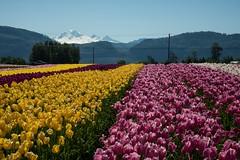 DSC_3791 (Copy) (pandjt) Tags: ca flowers canada bc britishcolumbia tulip abbotsford tulipfestival abbotsfordtulipfestival