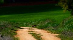 Zorro en el camino // Fox on the road {Vulpini} (Cazadora de Fotos) Tags: wild naturaleza fauna way walking camino free natura paisaje fox campo animales zorro iberica salvaje ibericos vulpini
