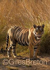 TIG01521GB_1 (giles.breton) Tags: india tiger tigers endangered ranthambhore panthera threatened andyrouse ranthambhorenationalpark pantheratigristigris royalbengaltiger dickysingh