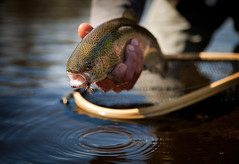 Fly fishing (stevenliefschul) Tags: fish newyork water river fishing stream adirondacks flyfishing trout rainbowtrout angler ausableriver catchandrelease outdoorlifestyle oncorhynchusmykiss