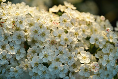 Evening light (SteveJM2009) Tags: uk flowers light sun detail petals focus dof blossom swindon may wiltshire hawthorn hedgerow stevemaskell 2016 liddington wilts naturethroughthelens