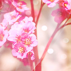 Once upon a dream... (mintukka) Tags: pink flowers flower texture spring soft bokeh pastel details crape