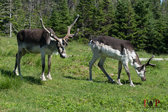 Woodland Caribou-16-4 (Ian L Winter) Tags: ca canada nature animals newfoundland caribou woodlandcaribou salmoniernaturepark newfoundlandandlabrador brigusjunction