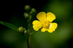 Creeping Buttercup (pawandeep0293) Tags: yellow portrait mountains spring nature flower summer plant india green himalayas ranunculus buttercup