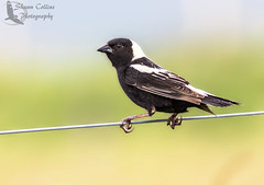 Bobolink (Shawn Collins Photography) Tags: bird nature birds canon outdoors photography pennsylvania wildlife birding sparrows grasslands mercercounty crawfordcounty bobolinks venangocounty pabirds pabirding
