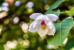 Abutilon (KPortin) Tags: seattle flower bokeh arboretum abutilon