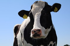 Night Fly (excellentzebu1050) Tags: animal closeup cow cattle outdoor farm animalportraits dairycows coth5