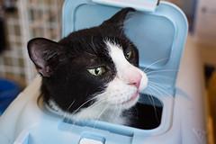 buster (jojoannabanana) Tags: closeup cat nose eyes whiskers tuxedocat 3662016