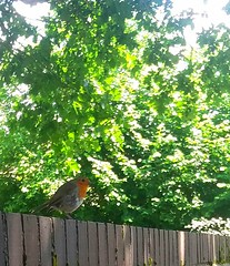 Waiting for crumbs! (sopwell287) Tags: unlimitedphoto samsung phone robin green red rayne gardenbirds bird essex