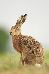 wie eingebildet (bobby3101985) Tags: portrait rabbit lampe sommer full frame sonne lffel hase feldweg meister feldhase hasenartige