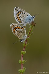 Silver Studded Blue, Plebejus argus (Nature Exposed) Tags: blue butterfly insect sussex westsussex wildlife butterflies blues insects lepidoptera naturephotography bluebutterfly silverstudded silverstuddedblue wildlifephotography natureexposed ipingcommon stedhamcommon