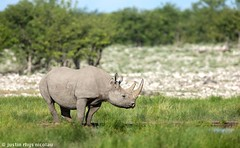 Black Rhinoceros - Diceros bicornis (Justin Rhys Nicolau) Tags: africa black nature canon mammal dangerous wildlife endangered 500mm namibia f4 rhinoceros etosha biodiversity big5 rhinocerotidae halali diceros bicornis 1dx