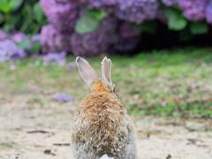 B6250566 (VANILLASKY0607) Tags: rabbit bunny bunnies nature animal japan photo wildlife wildanimal hydrangea rabbits rabbitisland wildrabbit okunoshima