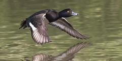 Tufted duck - Aythya fuligula (normanwest4tography) Tags: tuftedduck