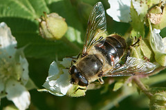 Blinde bij, Eristalis tenax, op braam (hansKiek) Tags: blinde bij eristalis tenax zweefvlieg sgravenhage zuidholland thenetherlands nl dronefly hooverfly