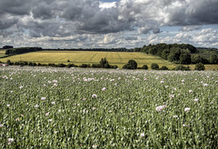 White poppies near Winchester, UK (neilalderney123) Tags: uk england landscape hampshire fran poppies winchester