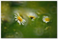 Stendhal I (hequebaeza) Tags: naturaleza nature florasilvestre vegetacin vegetation flores flowers ptalos blanco white amarillo yelow petals margaritas daisies nikon d5100 nikond5100 55200mm hequebaeza
