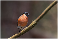 Eurasian Bullfinch (male) - Goudvink (man) (Pyrrhula pyrrhula) (Martha de Jong-Lantink) Tags: 2016 belgië eurasianbullfinchmale fotohut fotohutglennvermeerschkalmthout glennvermeersch goudvinkman kalmthout pyrrhulapyrrhyula vogel vogelhut8 vogels