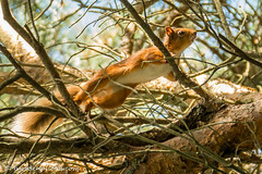 Red Squirrel climbing through trees (bob golden) Tags: clara ireland latesummer naturereserve outdoors vale wicklow woods red squirrel sciurus vulgaris wildlife