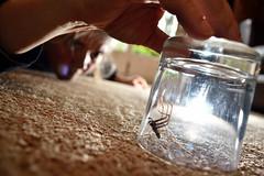 Gotcha (Apionid) Tags: spider glass werehere hereios nikond7000 3662016 day247366 3sep16 capture tegenariagigantica e count