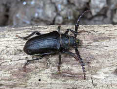 Prionus coriarius male - Brockenhurst, New Forest 2016b (Steven Falk) Tags: prionus coriarius tanner beetle steven falk