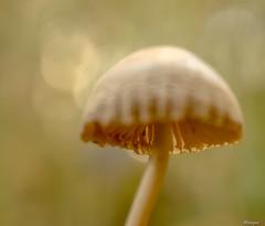 Autumn life (moniquevantorenburg) Tags: mushroom funghi paddestoel soft autumn herfst macro roosendaal rozenven olympusomdem5markii olympus1250mm outdoor nature natuur tiny klein focus depthoffield doff bokeh closeup