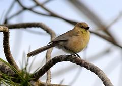 American Bushtit (I Nair) Tags: americanbushtit bushtit psaltriparusminimus bird songbird