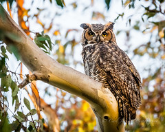 Great Horned Owl (cbjphoto) Tags: carljackson great photography avian bird birdofprey horned owl raptor