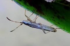 True Bug (Brenda Dobbs) Tags: animal arthropod arthropoda hexapod hexapoda hemiptera bug insect insecta nature outdoors macro macrocloseup