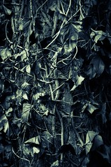 No Escape (Katrina Wright) Tags: dsc3594 leaves fall vines twisted entwined monochrome bw nb sinister pattern texture