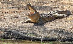 Ha, Ha, Monday ... (AnyMotion) Tags: africa travel nature animal animals tiere reisen reptile wildlife ngc natur afrika zambia cooling reptil 6d 2014 southluangwa sambia nilecrocodile anymotion mondayface crocodylusniloticus nilkrokodil canoneos6d mfuwelagoon