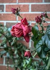 Hanging on thru winter (KWPashuk) Tags: ontario canada flower floral rose nokia flora rosebud wilted 1020 oakville lumina applebycollege phoneography kwpashuk kevinpashuk