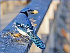 Le Geai bleu-Gourmand mais si beau:))) (Huguette T.) Tags: park blue fall nature birds forest automne observation jay bluejay qubec parc sentier oiseau geaibleu maraislonprovancher