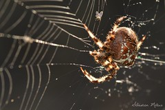 Araneus Diadematus (rj@ubertsb) Tags: macro nikon 7100 sigma araigne araneus 105mm diadematus arachnides