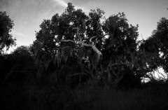 Fort Ord Tree (Joshuaww) Tags: california white black tree canon walking photography 350d moss joshua hiking salinas josh photographs lichen oldmansbeard fortord rebelxti joshuaww