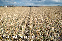Soybean field in Jarrettsville, Maryland, USA (Remsberg Photos) Tags: plants usa field farm harvest maryland bean crop ag feed dried soybean agriculture soybeans legume jarrettsvillemd