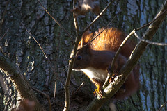 Red Squirrel (Frank Schmidt) Tags: trees nature colors animals canon out denmark photography eos photo colorful day foto view photos outdoor natur watching picture l danmark egern naturen farver eos7d