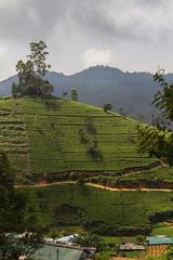 Tea industry in Sri Lanka (www.iamalexbrown.wordpress.com) Tags: vertical female workers women international driver srilanka organic fairtrade teafactory pickers teafields teapickers alexanderbrown heritance teaplatation