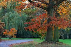 Autumn Light (Mah Nava) Tags: november autumn autumnfoliage light tree colors leaves maple herbst fallfoliage bltter baum   autumnlight ahorn kleinflottbek botanischergartenhamburg  lokischmidtgarten