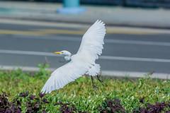 Cattle egret (Drswidah) Tags: cattle egret