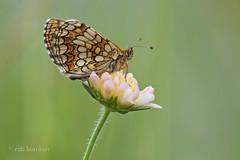 Nickerl's Fritillary  (Melitaea aurelia, steppeparelmoervlinder) (Rob Blanken) Tags: macro butterfly bulgaria nickerlsfritillary nikond800 sigma180mm128apomacrodghsm steppeparelmoervlindrmeliotaeaaurelia meloitaeaaurelia