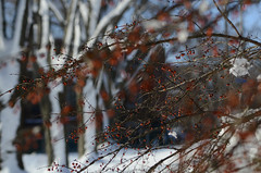 (Fransois) Tags: hiver winter fruits neige snow couleurs colors québec bokeh arbres trees haiku dof joie joy festif festive rouge red