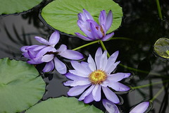 (ddsnet) Tags: travel plant flower japan waterlily sony cybershot  nippon   aquaticplants nihon  backpackers        rx10  osakafu       nymphaeatetragona     flowerinjapan