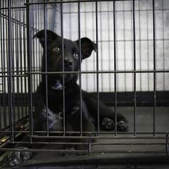 Atticus Miles Behind Bars (Immature Animals) Tags: arizona bw white black cute puppy bars lab labrador az canine marshall pima derek miles behind pup atticus pacc
