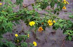 bloemen in de rijstvelden van Maligcong, Luzon Filippijnen 2001 (wally nelemans) Tags: 2001 flowers philippines bloemen riceterraces luzon filippijnen maligcong terrassenrijstvelden