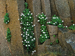 white flower in basaltic columns - kunashir island (kuril island chain) (Russell Scott Images) Tags: wildflowers flora kunashirkunashiriisland kurilkurileislands pacific volcanicarchipelago russia russianfareast pacificringoffire кури́льскиеострова́ kurilskieostrova kurirurettō stellariaruscifoliacaryophyllaceae russellscottimages