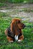 Who's that? (Jam Photography & Digital Art) Tags: dog sun sunlight nature animal prom bassethound liara